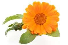 Many herbal medicine guides suggest keeping calendula tinctures on hand at all times to use as a first aid remedy. Calendula tinctures are easy to find and . Oil Garden, Herb Garden, Calendula Oil, Marigold Flower, Everything Is Awesome, Herbal Medicine, Love Flowers, Herbal Remedies, Roots