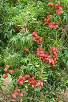 The King of Fruits  -  	The Lychee Tree has it all:  	 		Attractive ornamental evergreen with Tropical flair 	 		Delicious fruit with unique taste 	 		Dense green foliage 	 		Tolerant Tree, resistant to cold and frost   	Lychee Tree:  The best kept Ancient Secret  	There's a reason the Lychee...