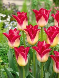 10 Tulipes Triomphe 'Romano'                                                                                                                                                      Plus