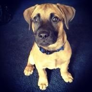 Posted July 28, 2014 According to ABC7 News Chicago, the Hometown Police Department officer who shot and killed a family dog in front of a 6-year-old child has been fired. A video is also available on the ABC link.  Apollo, a 1-year-old shepherd mix, had gotten out of his yard in the 8700 block of Beck Place in southwest Hometown, and the family had just return with him to their yard when an officer from the Hometown Police showed up.