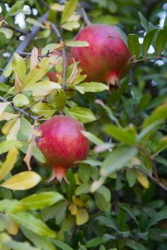 California Pomegranate Tree | October Snapshots on Fake Food Free