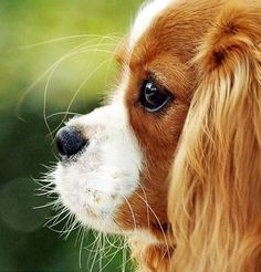 Whiskers on puppies - one of my favorite things! - - Cavalier King Charles…