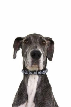 """Great Dane Wearing a Pearl Necklace - 30""""H x 20""""W - Peel and Stick Wall Decal by Wallmonkeys"""