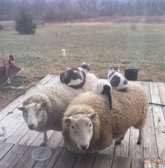 You've seen rabbit on a goat, now here are my cats on sheep! (Source: http://ift.tt/2xhyqVm)