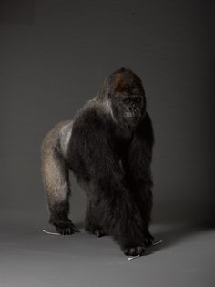 This Western Lowland Gorilla Is The Star Of Monkey Business Show