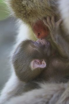 Kiss to mother by Masashi Mochida - Snow Monkies..