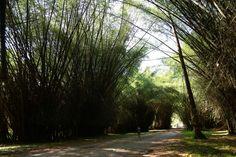Lancetilla, el edén oculto en Honduras. Está dividido en tres zonas. La primera es llamada jardín, dedicado primordialmente a árboles y otras plantas leñosas, una reserva biótica (bosque virgen) y una zona de plantaciones experimentales. Fotos: Franklin Muñoz