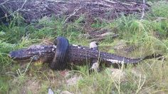 A nearly 12-foot alligator apparently died after becoming stuck in a tire that ha dbeen dumped in a lake on Hamburg State Park, about 15 miles southeast of Sparta.