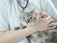 O que fazer se seu gato sofreu envenenamento