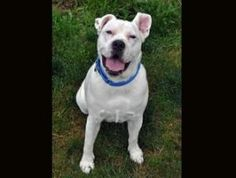 Rocko is an adoptable English Bulldog Dog in Coupeville, WA. About Rocko: Rocko was adopted last February and now, sadly for him, his family is moving into an apartment that does not allow pets so, he...
