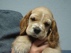 AKC American Cocker Spaniel Pup, CHARLIE - Great Temperament!!