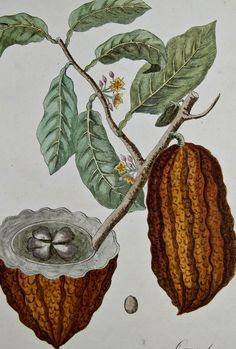 Cocoa Plant ~ Okay, I don't want to eat the plant or even raw cocoa, BUT a lot of amazing things come from this plant (sweet and otherwise).
