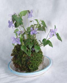 Violets in a moss ball garden
