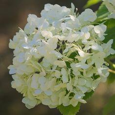 Hortensia de Virginie arborescens Strong Annabelle® 'Abetwo'
