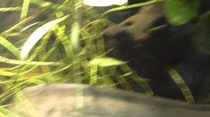 Amazon LungFish