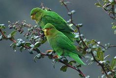 Rufous-fronted parakeet, (Bolborhynchus ferrugineifrons)