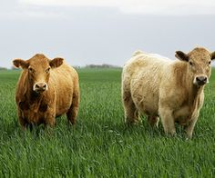 even if they are Charolais I still love any cow!