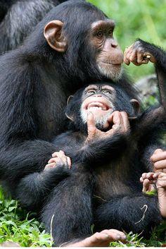 Trekking Chimpanzees in Uganda's Kibale National Park with Africa Adventure Safaris