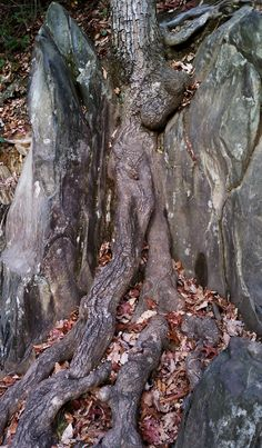 Old Tree Roots growing over rock in Great Smokey Mountains National Park