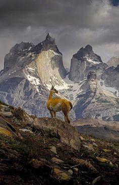 Un guanaco (lama) en el Parque Nacional Torres del Paine asombrosa en el sur de Chile.