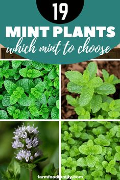 Herbs Gardening These are some of the more popular and commonly found mints — by no means an exhaustive list. Growing Mint, Growing Herbs, Gardening For Beginners, Gardening Tips, Mint Garden, Water Garden, Benefits Of Organic Food, Mint Benefits, Health Benefits