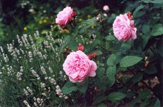 Plant lavender along roses. They don't compete for water. Companion ideas here.