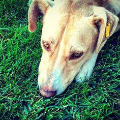 #dog #dogsofinstagram #animal #grass #nature #cute #puppy