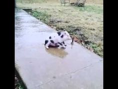 """Scrambling to get his footing on an icy uphill Pennsylvania sidewalk on a cold winter's day, an adorable piglet named Phineas (""""Phinny"""") slides back down the hill and safely towards his encouraging..."""