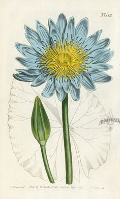 Blue Water Lily. William Curtis Antique Prints 1787-1817