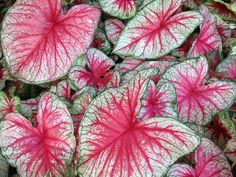 """Caladium variety """"Glowing Heart"""" pictured in partial shade- only available through Spaulding Bulb Farm. Garden, gardening ideas, tropical plants, fairy gardens, urban gardening, container gardening. Caladium, caladium gardening, aroids, unique caladiums, caladium bulbs, landscaping, potted plants, potted caladiums, tropical perennial, elephant ears, artisan farm, florist, floral arrangements, floral design."""