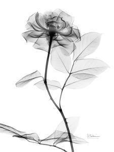 Art Print: Rose in Full Bloom in Black and White by Albert Koetsier : Rose Tattoos, Flower Tattoos, Black Tattoos, Full Sleeve Tattoos, Tattoo Sleeve Designs, Tattoo Sleeves, Rauch Tattoo, Xray Flower, Flower Sleeve
