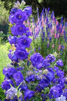 Full size picture of Canterbury Bells, Blue Cup and Saucer 'Caerulea' (Campanula medium var. Growing Flowers, Planting Flowers, Blue Flowers, Beautiful Flowers, Girl 3d, Flower Garden Plans, Herbaceous Border, Blue Cups, Gardens