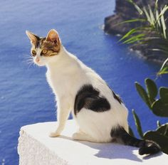 Cats of Santorini Greece
