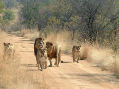 Ontmoet-leeuwen-tijdens-uw-safari-in-Zuid-Afrika-via-Exclusive-Culitravel-exclusieve-rondreizen-met-Jos-van-Krimpen1.jpg (1024×768)