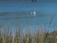 A Very Massachusetts Love Story Between Two Swans - WorldNews