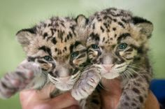 Baby Clouded Leopards...just made their public debut at the pt. defiance zoo this month!