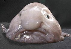 The Blobfish can be found off the coasts of Australia.