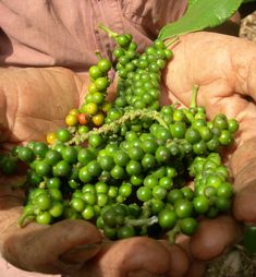 A really interesting insight in to organic Kampot Pepper production near Kep. Kampot, Angkor Wat, Pork Belly, Roasted Garlic, Backpacking, Beaches, Insight, Dips, Cruise