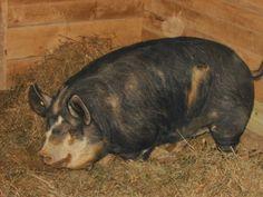 Idaho Pasture Pig