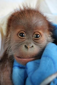 Baby Orangutan Thriving Under Keepers' Care at Zoo Berlin - more at ZooBorns.com and http://www.zooborns.com/zooborns/2015/01/baby-orangutan-thriving-in-keepers-care.html