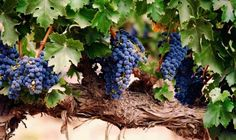 El origen de los nombres de las uvas tintas