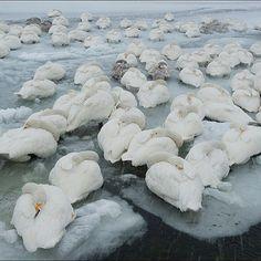 Cigni sul ghiaccio a #Hokkaido, in #Giappone, un'immagine parte del servizio sui cigni realizzato dal fotografo italiano per National Geographic (pubblicato nel dicembre del 2010). L'immagine fu selezionata dai photoeditor della rivista ma non fu ma mai pubblicata.