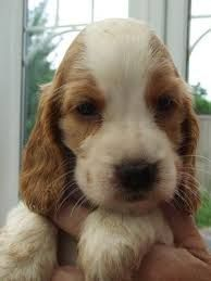 Cockerworld Hashtag Instagram Posts Videos Stories On Somegram Com Golden Cocker Spaniel Spaniel Puppies For Sale Cocker Spaniel Puppies
