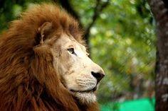 African lion (Panthera leo) by Damaris Lopez Zamora, from El Salvador
