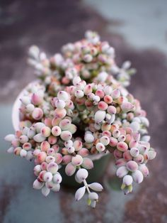 Cotyledon pendens                                                                                                                                                                                 More