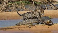 the animal jaguar jumping into river - Yahoo Image Search Results