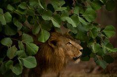 Il deserto dei leoni  Fotografia per gentile concessione di National Geographic Channel
