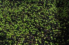 Go Behind-the-Scenes with Tours of Factories and Phoenix Attractions: Queen Creek Olive Mill