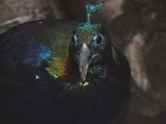 The Himalayan Monal is a species of pheasant and is the national bird of Nepal. Bird Species, Pheasant, Himalayan, Exotic, Writing, Colors, Garden, Nature, Garten