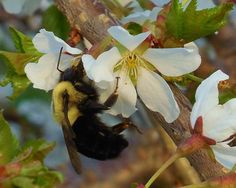 BUMBLE BEE8X10 Photograph Nature Photography by EyeLoveTheView